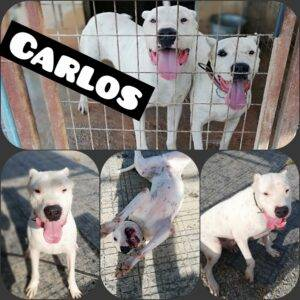 My Pet World Store What do you know about the Breed as Dogo Argentino? https://mypetworldstore.com/what-do-you-know-about-the-breed-as-dogo-argentino/